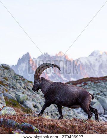 Alpine Carpa Ibex wild goat
