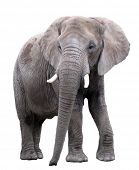stock photo of tusks  - Elephant - JPG