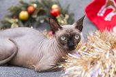 Cat Of Breed The Canadian Sphynx Among The Tinsel ,bald Cat , Cat Face, Cat Eye poster