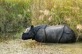 wild Rhinoceros unicornis in chitwan national  park, nepal