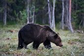 Two Brown Bears (ursus Arctos) Male And Female Photographed In A Forest poster