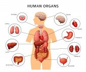 Human Body Internal Organs. Stomach And Lungs, Kidneys And Heart, Brain And Liver. Medical Anatomy V poster