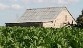 image of tobacco barn  - Tobacco plantation with farm barn in the background
