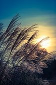 Bunch Of Tall Grass As Silhouette At Sunset Twilight Sky (copy Space) poster