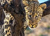 The concept of exotic and extreme tourism. Happy and well fed leopard resting on a tree. African spo poster