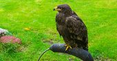 Immature Brown Eagle, A Beautiful Scavenger Bird From Canada. poster