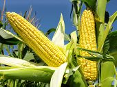 stock photo of corn  - Corn close - JPG
