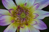 Details Of White, Yellow And Purple Dahlia Flower Macro Close Up Photography. Photo In Colour Emphas poster