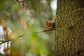 Squirrel. The Squirrel Was Photographed In The Czech Republic. Squirrel Is A Medium-sized Rodent. In poster