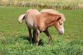 stock photo of fillies  - Finnhorse filly of palomino color on green meadow - JPG
