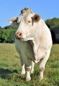 image of charolais  - beautiful Charolais in a meadow front view - JPG