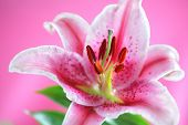 stock photo of stargazer-lilies  - Stargazer lily isolated on pink background - JPG