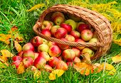 picture of orchard  - Red and yellow apples in the basket  - JPG