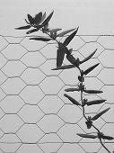 stock photo of chicken-wire  - Honeysuckle vine climbing on chicken wire fence - JPG