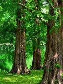 Постер, плакат: Редвуд рассвета деревья