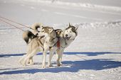 picture of husky sled dog breeds  - two siberian husky sledding dogs with harness - JPG