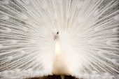 image of mating animal  - White Peacock with Feathers Out - JPG