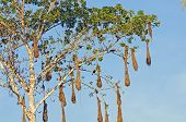 image of cannonball  - Oropendola Nests in a Cannonball tree in the Amazon Rain Forest - JPG