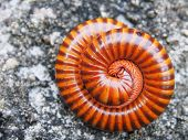 foto of millipede  - The beautiful splash millipede on the rock