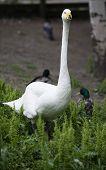 picture of northern hemisphere  - The Whooper Swan  - JPG