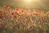 stock photo of opium  - Poppies on green summer field in the sunset - JPG