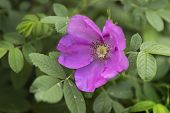 foto of wild-brier  - Pink wild rose flower bloomed in July - JPG