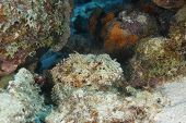 Spotted Scorpionfish Waiting To Ambush Its Prey - Bonaire