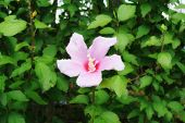 stock photo of rose sharon  - A single pink rose of Sharon surrounded by green leaves from the plant - JPG