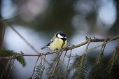 pic of great tit  - Great tit sitting in a tree in winter - JPG
