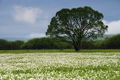 pic of narcissi  - National park of wild narcissies  - JPG