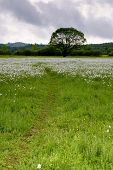 stock photo of narcissi  - National park of wild narcissies  - JPG