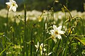 foto of narcissi  - National park of wild narcissies - Narcissus Valley in Europe. The international network of biosphere reserves by UNESCO