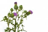 picture of scottish thistle  - Thistle closeup isolated on the white background - JPG
