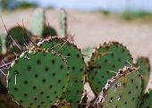 picture of spiky plants  - A spiky cactus in the desert of Arizona - JPG