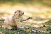 picture of prairie  - black tailed prairie dog - JPG