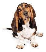 pic of droopy  - Basset Hound with sad eyes on a white background - JPG