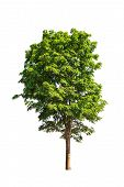 pic of malay  - Pterocarpus indicus known by several common names including Amboine Pashu Padauk Malay Paduak New Guinea Rosewood tropical tree in the northeast of Thailand isolated on white background - JPG