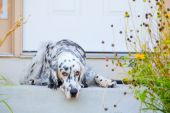 stock photo of english setter  - English setter is waiting on the steps by the front door - JPG