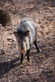 pic of javelina  - Javelina or collared peccary in the Sonoran Desert - JPG
