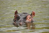 pic of amphibious  - A Hippo in the water  - JPG