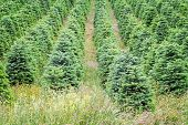 stock photo of row trees  - Row of Christmas trees planted at a tree farm in Willamette Valley Oregon - JPG