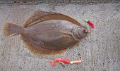 stock photo of dab  - line caught common dab flatfish during bottom fishing - JPG