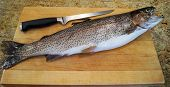 foto of steelhead  - A whole freshly caught rainbow trout with filet knife and cutting board ready to filet and cook