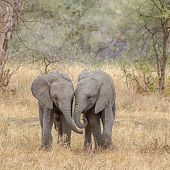 picture of playtime  - Two baby elephants walking side - JPG