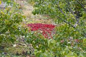 pic of bearberry  - Red bearberry surrounded by green leaves of birches - JPG