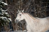 picture of wild horse running  - gray horse in winter forest running wild - JPG