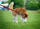image of husky sled dog breeds  - siberian husky on a dog show in summer - JPG