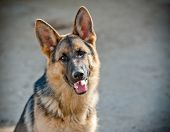 stock photo of german shepherd dogs  - German Shepherd portrait - JPG