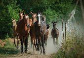 stock photo of pastures  - herd of beautiful horses running home from pasture - JPG