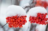 pic of mountain-ash  - Mountain ash clusters in snow close up - JPG